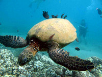 gallery-maui-scuba-photos-turtle-cleaning-station-fish-ba