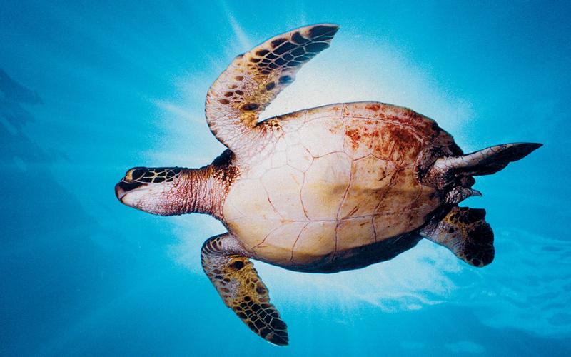 sunburst-turtle
